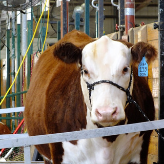 Watch: Is the Meat and Dairy Industry Really Kosher Anymore?