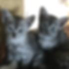 Michele's kitten advert Nov 2019.png