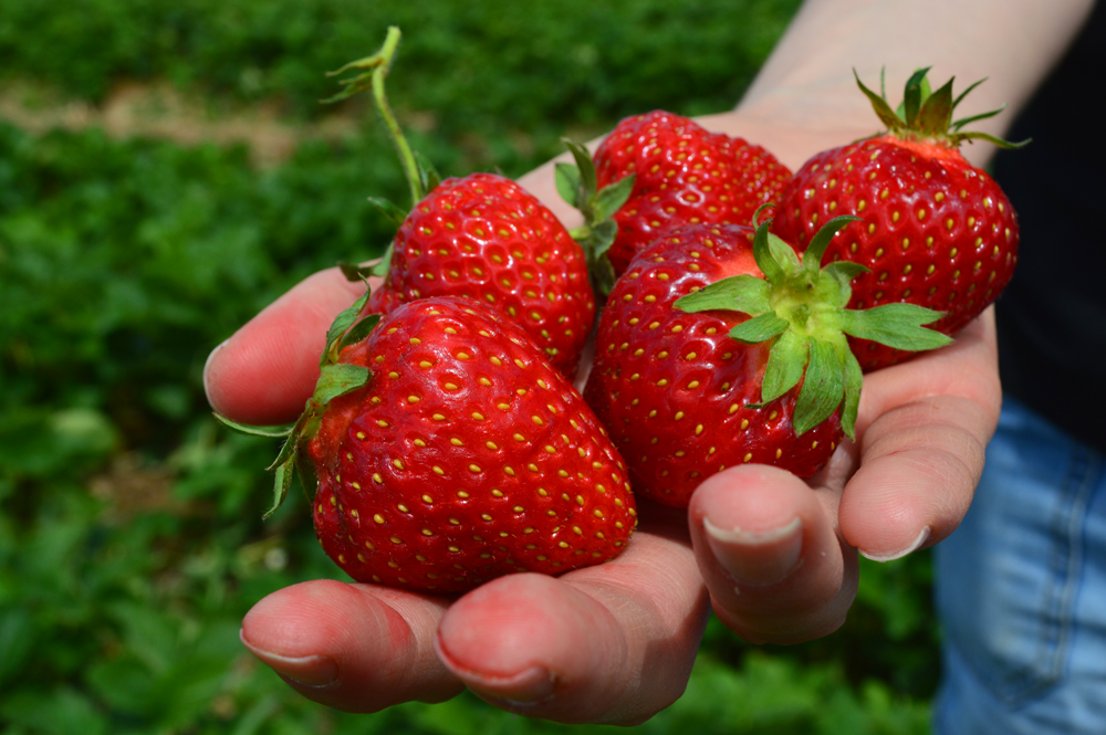 1000x665 berry in hand.png