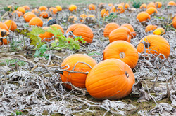 Pumpkin Field With A Lot Of Big Pumpkins.jpg