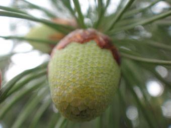 40_Pine.jpg
