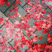 Red Leaves, Tokyo