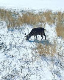 Hokkaido Deer