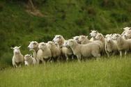 SPECIAL ALERT - Livestock Herd Scheme 2020