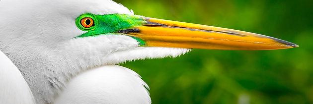 Dennis Goodman Great Egret.jpg