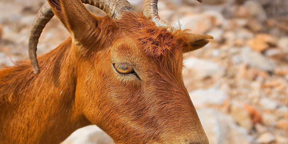 Barbary Sheep, Ibex, Oryx, and Trapping Harvest Reports Deadline