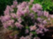 syringa-bloomerang-purple-0002.jpg