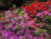 multicolor-azaleas-flowering-on-lake-mag
