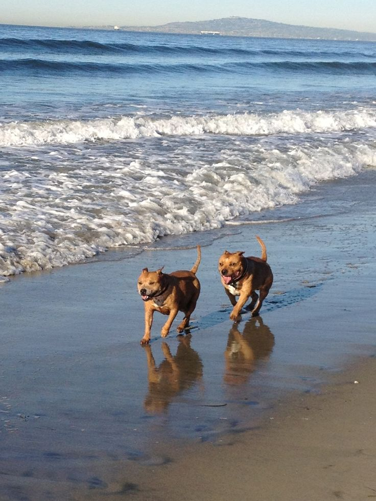 ddb8197319948cc237afd449b9e504b2--american-staffordshire-staffordshire-terriers