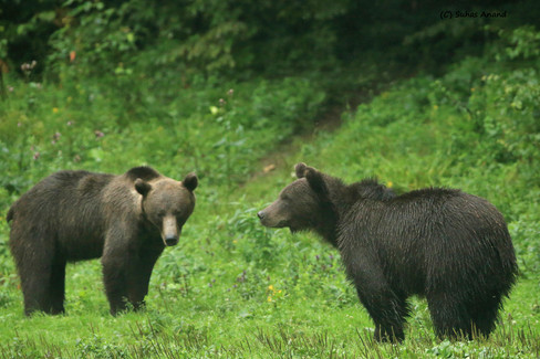 two bears face to face.jpg