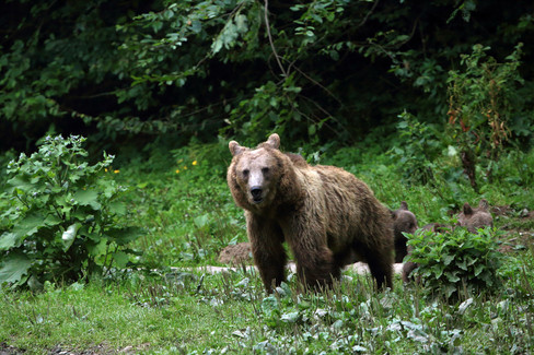 mamma bear with cubs.jpg