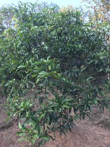 mid size mango 2016