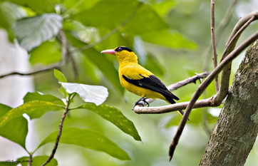 Black naped oriole in Andaman forests