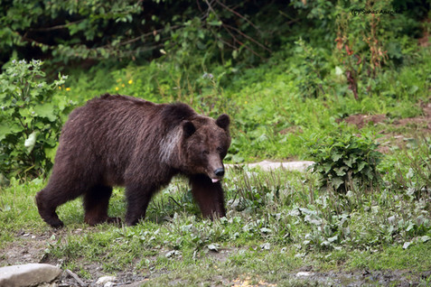 european brown bear mama.jpg