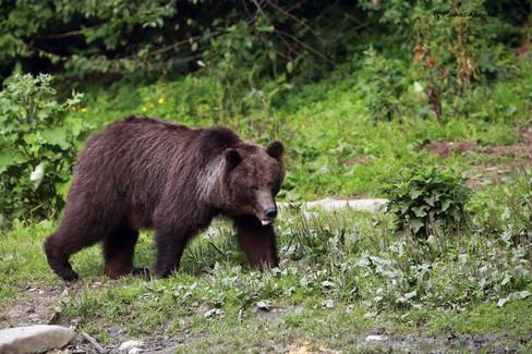 european brown bear mama.jpg