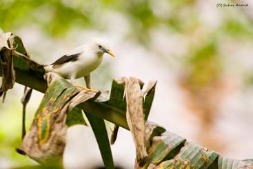 Andaman starling