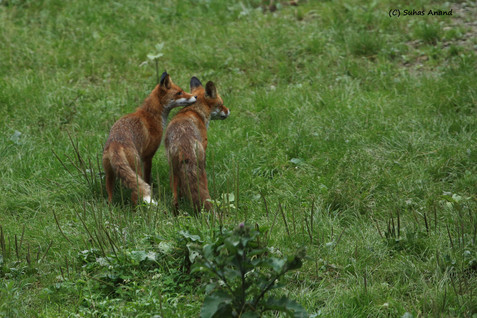 two red fox.jpg