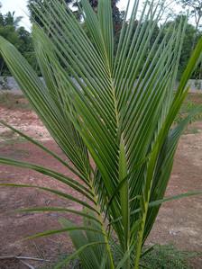 coconut 2013.jpg