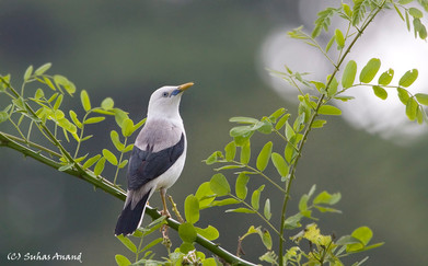 White headed starling from Andaman