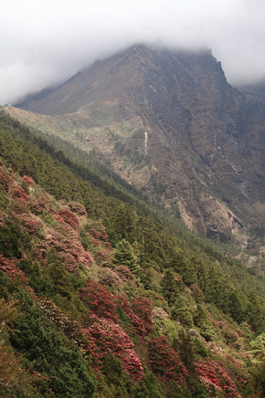 rhododendron forest nepal.jpg