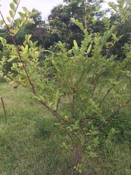 guava 2016