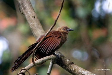Andaman coucal with red eyes