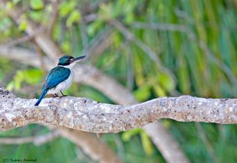 Collared kingfisher in Andaman