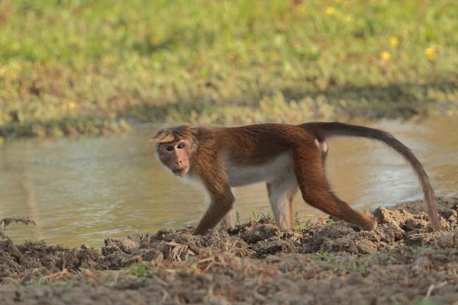 toque macaque sri lankan.jpg