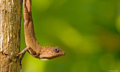 Lizard in Andaman