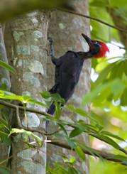 Andaman woodpecker