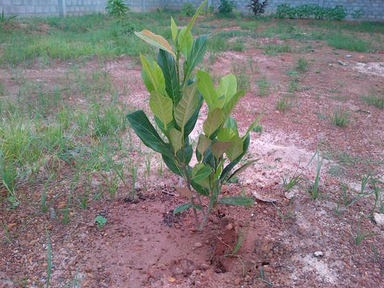 jackfruit 2012.jpg