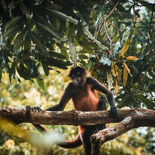 Spider Monkey, Corcovado National Park