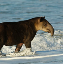 Tapir, Corcovado National Park