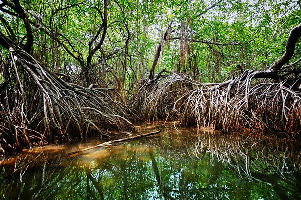 full-mangrove-at-sierpe.jpg
