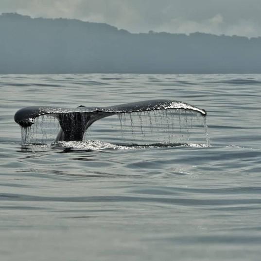 Whale tale, Osa Peninsula