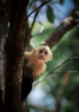 white faced cappuchin monkey costa rica.