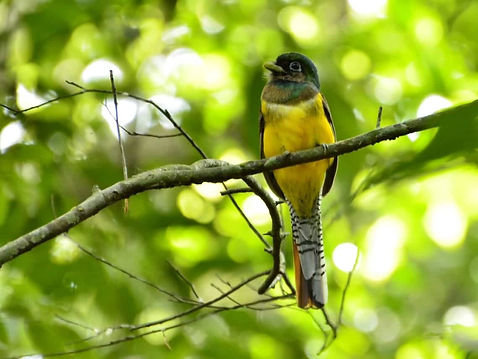 corcovado national park trogon.jpg