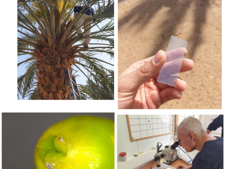 World's first drone pollination of dates Successful!