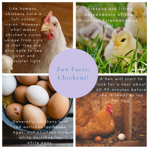 Fun Facts: Chickens
