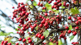 growing-multiple-red-hawthorns-with-gree