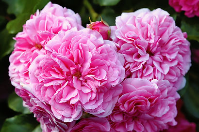 olia-roses-provence-rose-cabbage-rose-ro