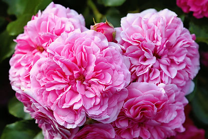 olia-roses-provence-rose-cabbage-rose-ro