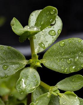 common-purslane-plant-species-portulaca-