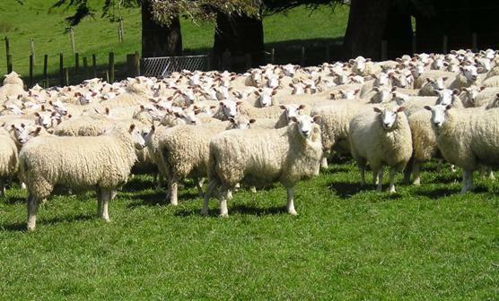 ovinocultura
