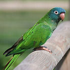 Blue-Crown-Conure-Images.jpg