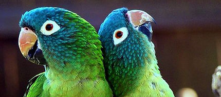 Blue crowned conure.jpg