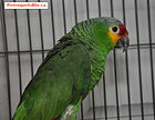 Red Lored 04.jpg