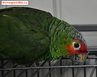 Red Lored 03.jpg