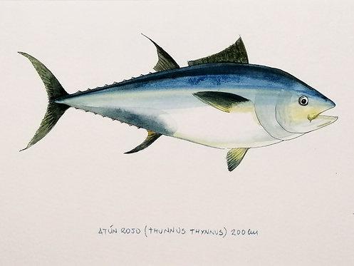 Atún Rojo- Reproducción