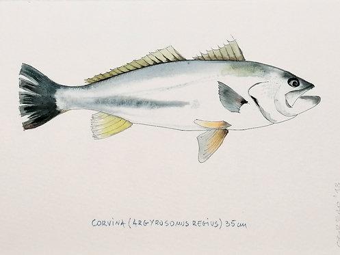 Corvina(Argyrusomus Regius)- Reproducción- RO